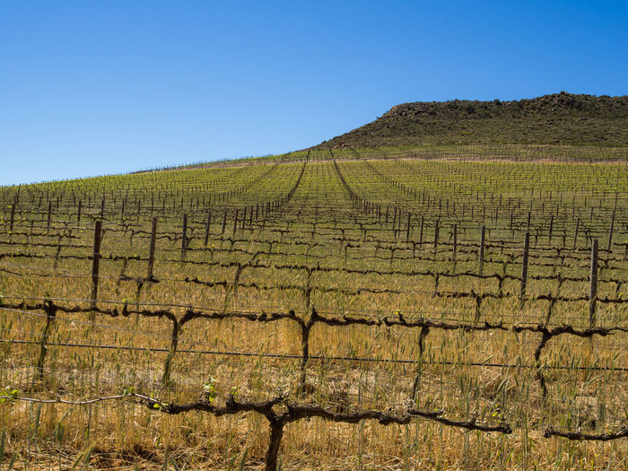 Scenic view of agricultural field of vineyard against clear sky, cederberg mountains, south africa
