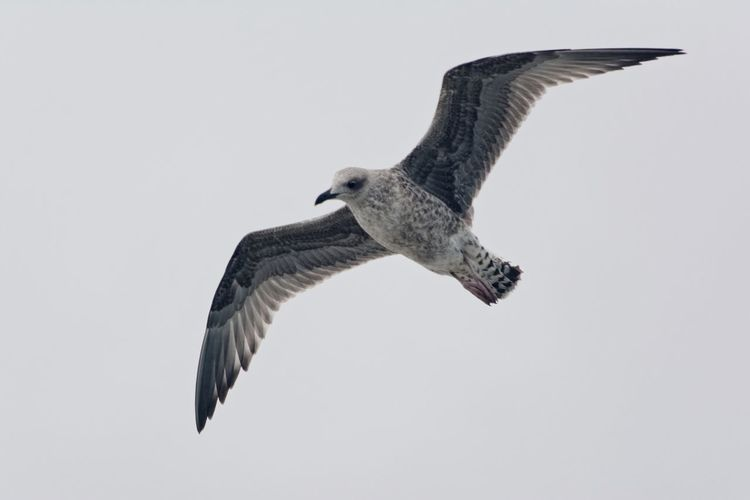 Flight 🇫🇷 Tranquility Animal Themes Animal Wildlife Animals In The Wild Beauty In Nature Biarritz FRANCE Bird Clear Sky Day Flying Nature No People One Animal Outdoors Seagull Spread Wings