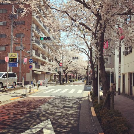 桜 サクラ Cherry Blossoms Neighborhood