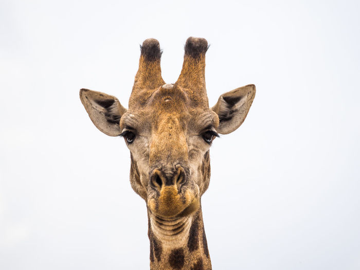 Africa Animal Head  Animal Themes Animal Wildlife Animals In The Wild Close-up Day Giraffe Looking At Camera Mammal Nature No People One Animal Outdoors Portrait Safari Safari Animals Studio Shot White Background