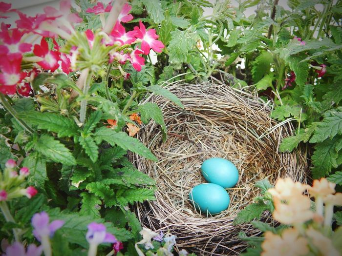 Growth Fragility Nature No People Leaf Outdoors Beauty In Nature Flower Day Close-up Bird Eggs Robin Eggs In A Nest