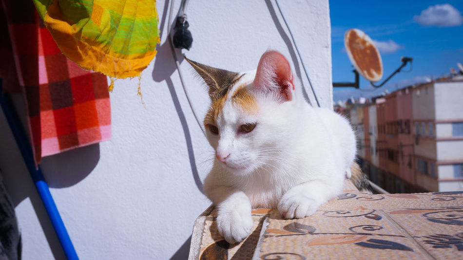Her Majesty Leona 🐈 ♕ ❤ Cat Cats Cat Lovers Cat Lover Headshot Watching On The Roof On The Rooftop Height Heights Not Afraid 9 Lives Beauty Majestic Feline Whity White Posing On Set Petphotography Sunbathing Under The Sun Chilling Relaxing