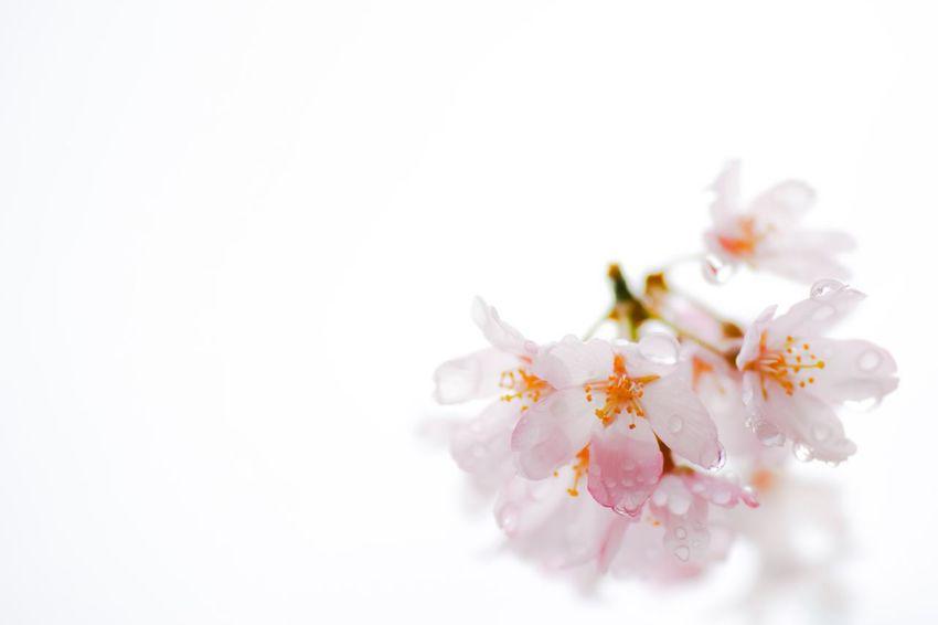 雨上がりの桜🌸 Spring Cherry Blossoms Sakura Nature Nature_collection EyeEm Nature Lover Flowers Flowerporn Taking Photos Enjoying Life Eye4photography  From My Point Of View