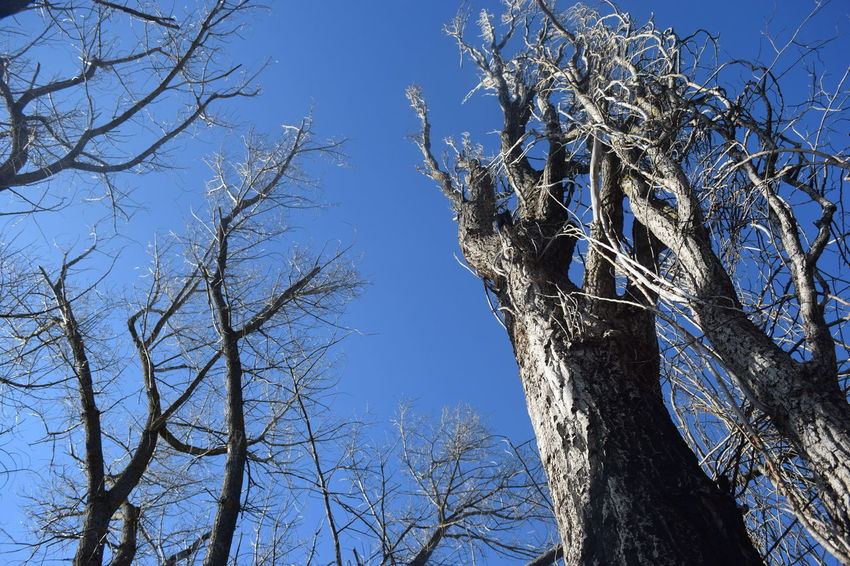 Nature Nature Photography Blue Sky Branches And Sky No People Oldtrees Sky Springtime