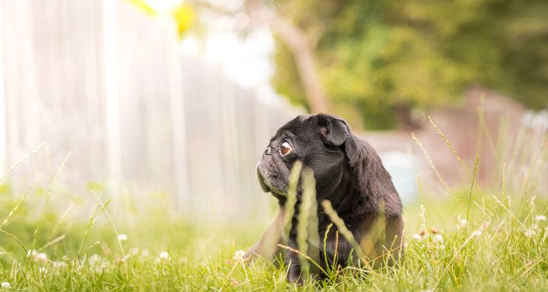Chilling Grass Mammal One Animal Nature Animal Themes No People Outdoors Field Animals In The Wild Day Close-up Dogs Of EyeEm Pet Photography  Pug Pet Portraits