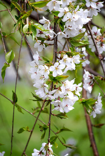 Beauty In Nature Blooming Blossom Bud Cherry Blossom Cherry Tree Flower Focus On Foreground Fragility Growth In Bloom Nature Outdoors Spring Springtime Weeping Cherry Blossoms Weeping Cherry Tree White White Cherry Blossom