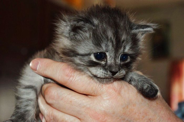 😍😍😍 Human Hand Pets Animal Themes One Person Domestic Animals Young Animal Domestic Cat Cute Real People Adult Day One Animal Close-up кот котёнок малыш мило Cat Mylove My Cat My Little EyeEmNewHere