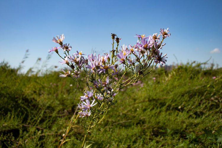 Beauty In Nature Blossom Botany Close-up Day Field Flower Flower Head Flowering Plant Focus On Foreground Fragility Freshness Grass Growth Land Nature No People Outdoors Petal Plant Purple Sky Springtime Vulnerability