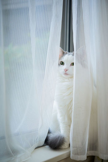 Cat sitting between curtains