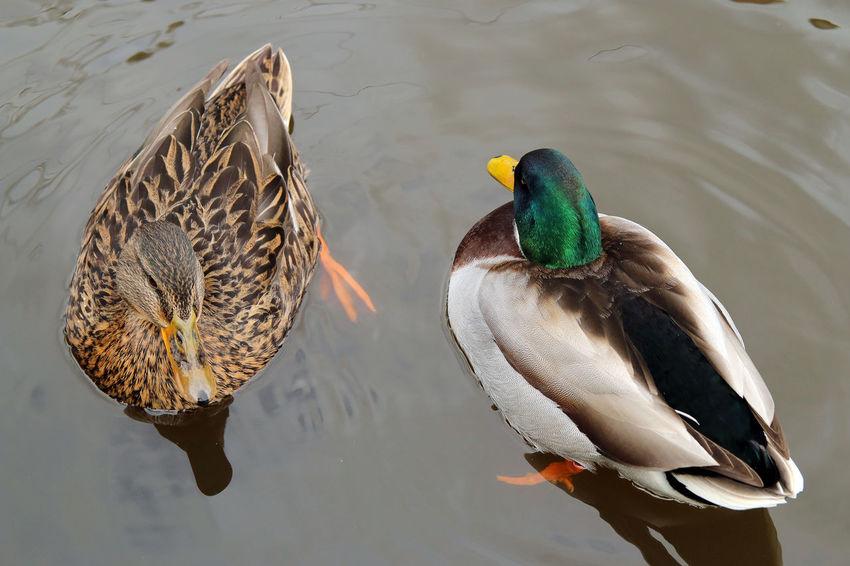 DUCKS Beauty In Nature Duck Lake Mandarin Duck Nature Outdoors Water Water Bird
