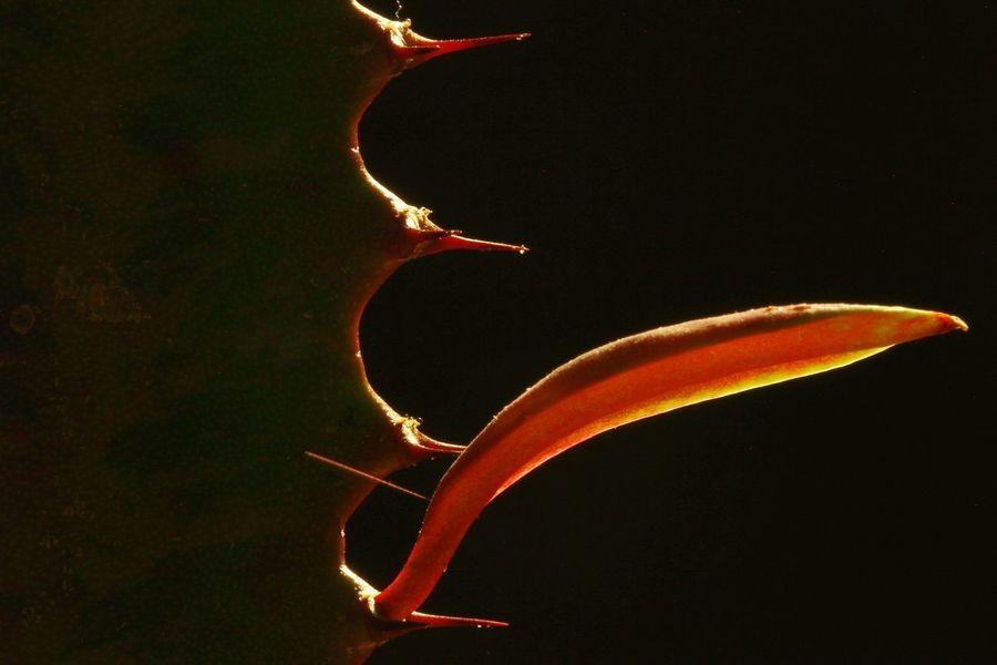 Succulents, Cacti, Flowers, Cicek, Plants, Agaclar, Macros,#closeups, Photos, Photographers, Photography, Instagram, Like4like, Likeforlike, Canon,  7d, Instagram,#nature, Wonderful,#amazing, Awesome, Followme, Shot, Shots, Art, Arts Picoftheday Macro Thorn Closeups Macro_collection Black Background Close-up