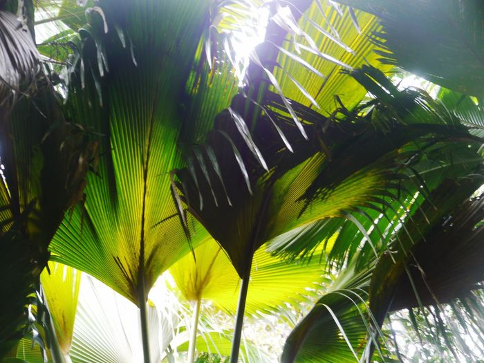 Coco der mer Praslin Giant Coconut Meereskokusnuss Seychellen Seychelles Giant Palm Trees Indigenous Plant Tropical Paradise Vallee De Mai World Heritage Site By UNESCO Coco Der Mer Leaf Palm Tree Growth Nature Sunlight Low Angle View Day Tree