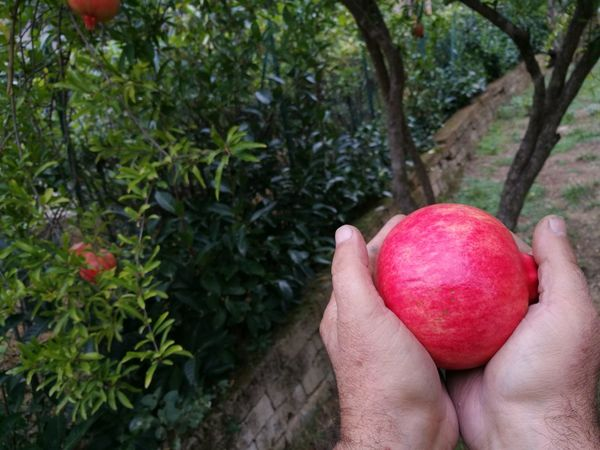 pomegranate fruit diet Unhealthy Eating Tape Nature Sweet Lifestyle Measure Healthy Hands Fruit Freshness Centimeter Food Dieting Pomegranate Diet French Food