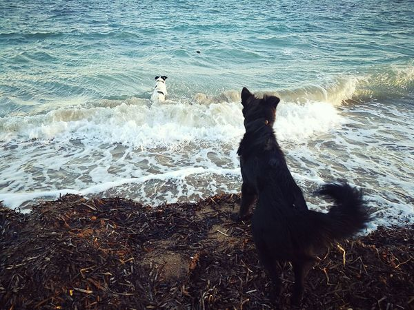 Animal Themes Beach Beauty In Nature Black And White Dog Black Dog D Day Dog Domestic Animals Mammal Motion Nature No People Outdoors Pets Sea Sunrise Swimming Dog Two Dogs Water Wave