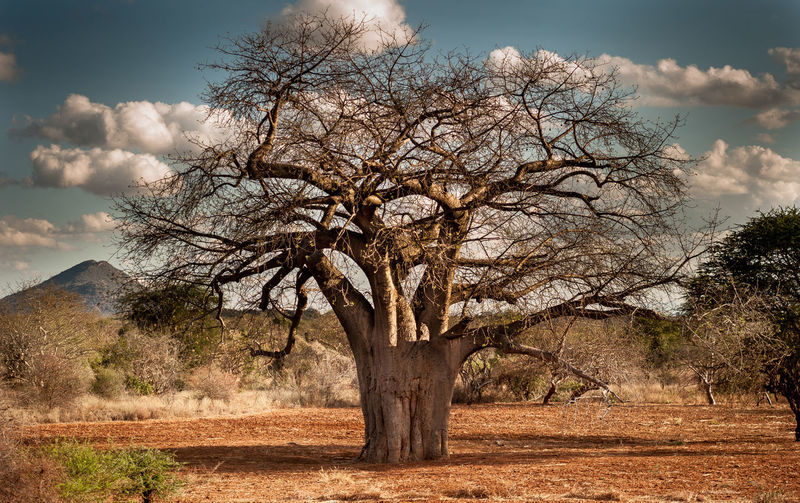The Tree Tree Of Life African Tree Trees The Week on EyeEm African Landscape African Bush Elephant Bushland Natural Beauty Baobab Tree The Roots Kenya Africa Sahel Rift Valley Clouds And Sky African Sky