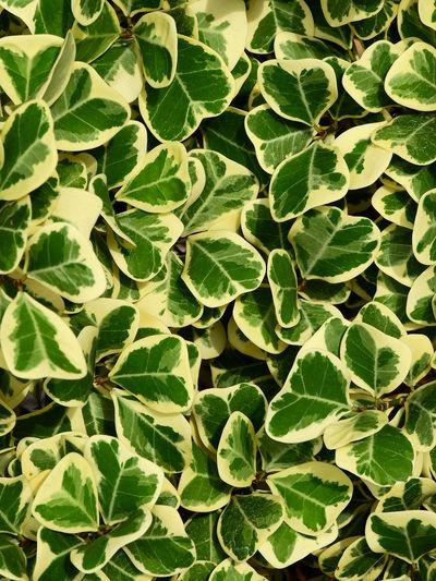 Leaf of ficus deltoidea jack f. variegata