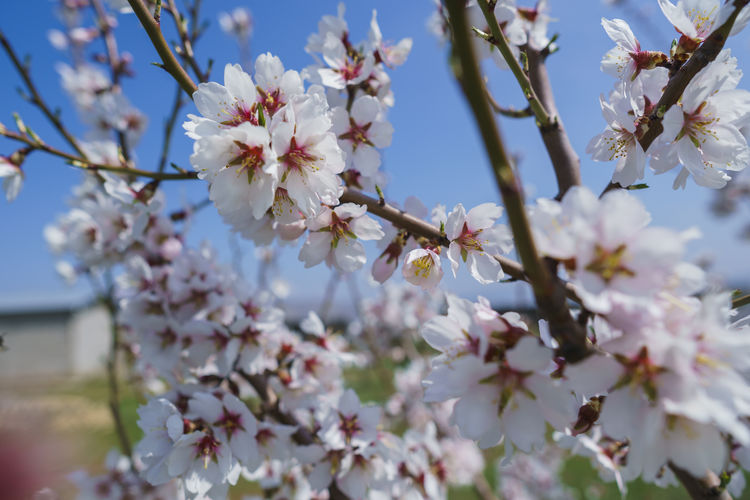 Plant Flowering Plant Flower Growth Freshness Fragility Vulnerability  Beauty In Nature Tree Blossom Springtime Branch Petal Day Close-up Nature Cherry Blossom Twig Fruit Tree No People Pollen Flower Head Cherry Tree Outdoors Spring