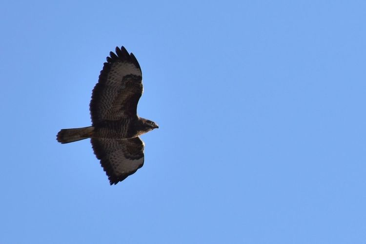 Fly, buzzard, fly 3XSPUnity Animal Themes Animal Wildlife Animals In The Wild Beauty In Nature Bird Bird Of Prey Buzzard  Buzzards Clear Sky Copy Space Day EyeEm Best Shots EyeEm Nature Lover Fly Flying Flying High Hunting Low Angle View Nature No People One Animal Outdoors Spread Wings