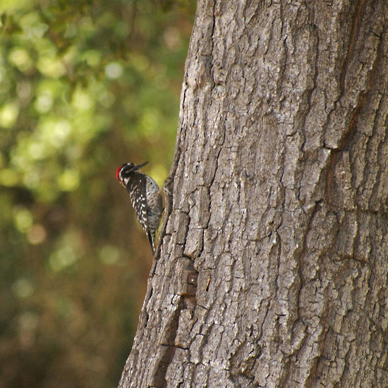 Bark Bird Photography Close-up Glendale, California No People Perching Side View Tree Trunk Wildlife Woodpecker