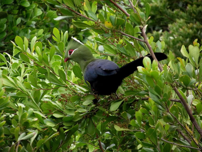 A Knysna Turaco with vibrant colours in Nature's Valley, South Africa. Bird Turaco Green Leaf Green Color Plant Nature Outdoors EyeEmNewHere