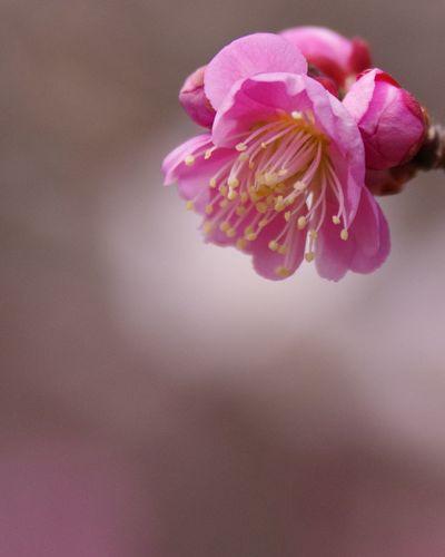 Pink Flower Petal Spring Pink Color Japan Plumbrossom Springtime Flower Head 筑波山梅林