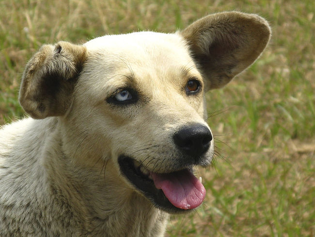 Animal Themes Close-up Day Dog Domestic Animals Looking At Camera Mammal Nature No People One Animal Outdoors Pets Portrait Two Colored Eyes Stray Animal North India Visual Creativity