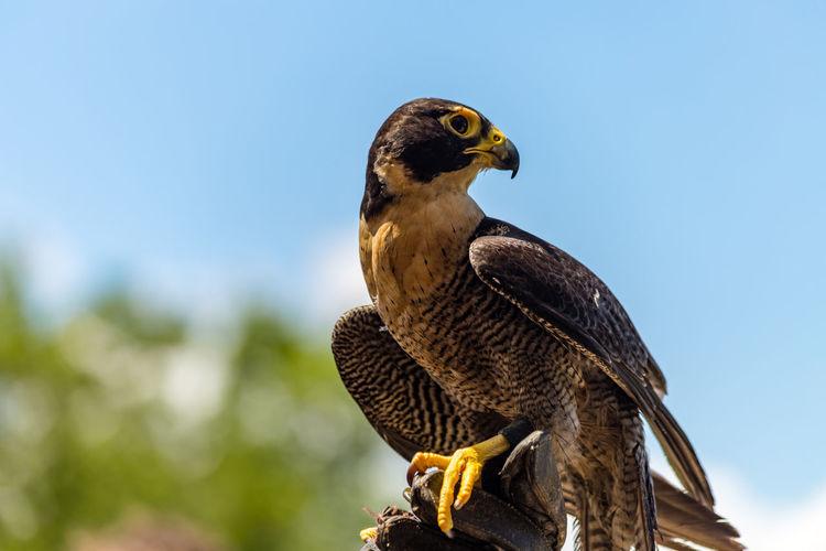 Animal Wildlife Bird Falcon - Bird Animal Wildlife One Animal Bird Of Prey Focus On Foreground Day Close-up No People Perching Low Angle View Bird Profile