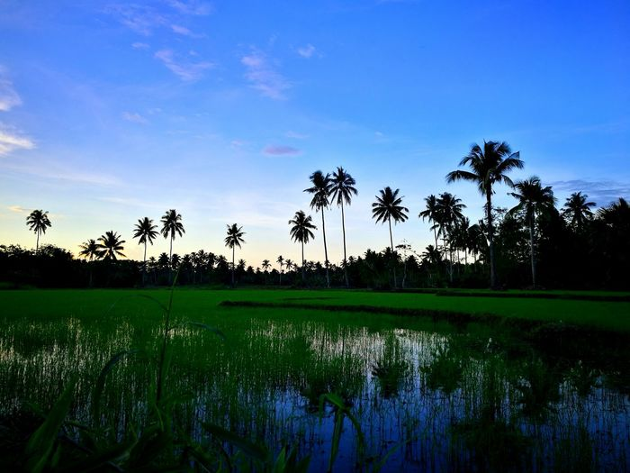 Randomshot Mobilephotography HuaweiP9plus MyPhotography Twilight Tree Rice Paddy Water Palm Tree Agriculture Rural Scene Rice - Cereal Plant Lake Reflection Tropical Climate Farmland Agricultural Field Growing Farm Plantation