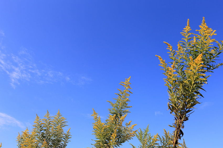 Beauty In Nature Blue Blue Sky Branch EyeEm Gallery Goldenrod Grass Green Green Color High Section Low Angle View Nature Nature_collection Outdoors Scenics Sky Tranquil Scene Tranquility Tree Top Yellow