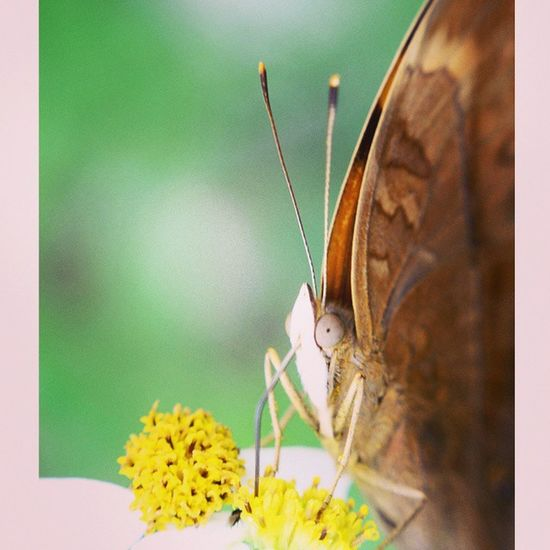 Kuhisap sari madumu. Kupukupu Butterfly Macrophotography Macroexperience macroworld_ macro_secrets macro_champ closeup