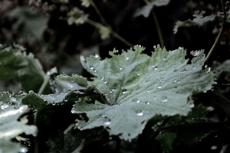 Leaf drops Autumn Blatt Dark Herbst Accent Beauty In Nature Close-up Day Drop Flower Head Fragility Freshness Green Color Growth Leaf Nature No People Outdoors Plant Purity RainDrop Selective Focus Water Weather Wet