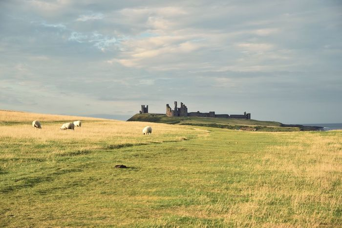 Beautiful Dunstanburgh castle in Northumberland seacoast, UK Northumberland Castle Great Britain Landscape Field Nature Medium Group Of Animals Tranquility Tranquil Scene Day Countryside Beauty In Nature Rural Scene