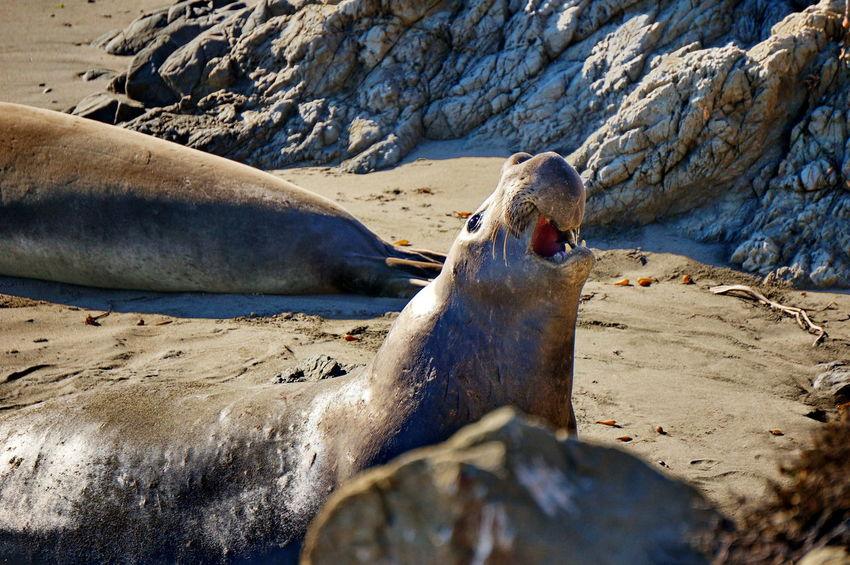 California NEX-5T Animal Themes Animal Wildlife Animals In The Wild Aquatic Mammal Beach Day Elephant Seals Mammal Nature No People One Animal Outdoors Pacific Coast Rock - Object Sand Sea Lion Sony