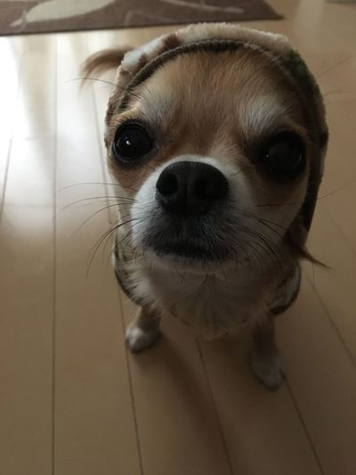 Pets Dog Domestic Animals One Animal Animal Themes Looking At Camera Indoors  Mammal Portrait Puppy No People Close-up Shih Tzu Day Chihuahua Chihuahua Love ♥ Family 2yearsold  Niko Good Morning! Make You Coffee