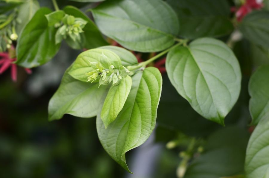 Combretum Indicum Freshness Green Natural Nature Place Of Worship Plant Quisqualis Indica Beauty In Nature Blossom Bud Chinese Honey Suckle Close-up Creeper Plant Day Drunken Sailors Flower Foliage Fragility Fresh Freshness Green Color Growth Leaf Leaves Nature No People Outdoors Plant Rangoon Creeper