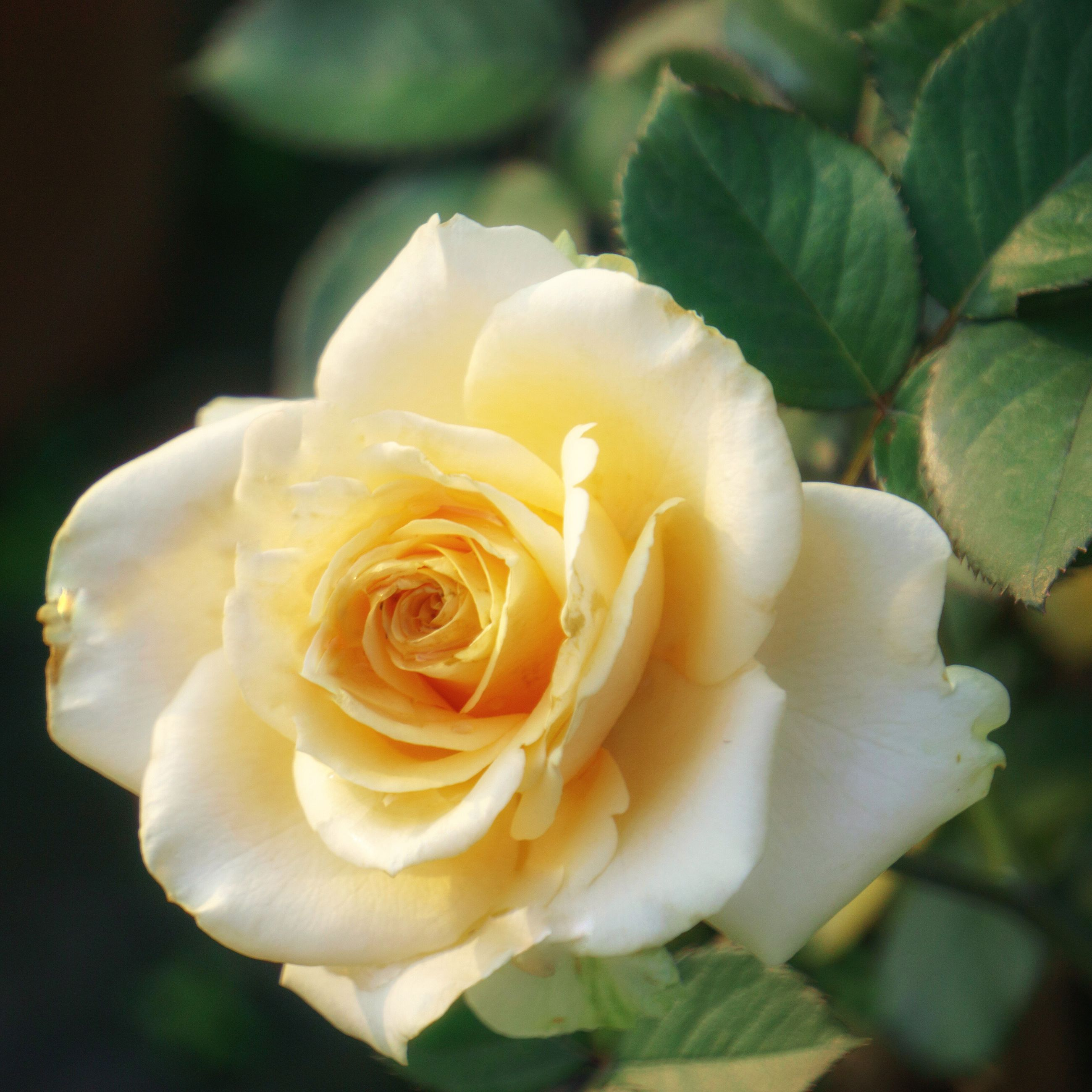 flower, petal, rose - flower, flower head, freshness, fragility, beauty in nature, close-up, rose, single flower, growth, single rose, yellow, nature, focus on foreground, blooming, white color, in bloom, blossom, no people