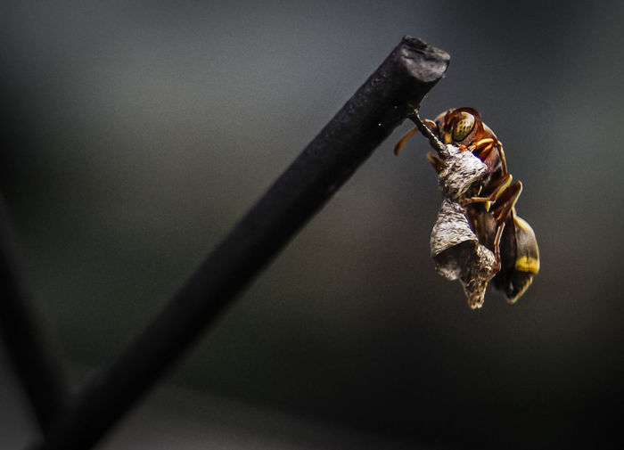 Macro shot of wasp with nest on metal