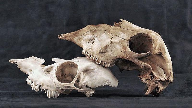 Showcase: February Deer Skull skulls Macabre Decay Gruesome Animal Skull Steampunk