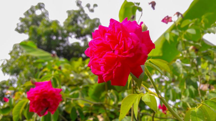 Rosa #Natural #Hermoso EyeEm Selects