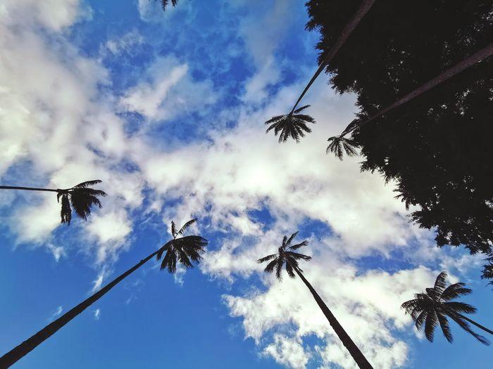 Palm trees Tree