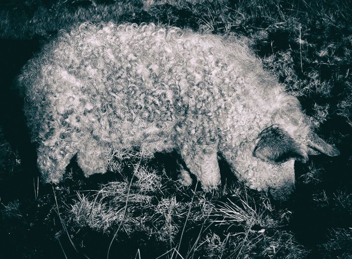 Pig Animal Themes Beauty In Nature Close-up Day Fragility Mangalitsa Nature No People Outdoors Pig Water