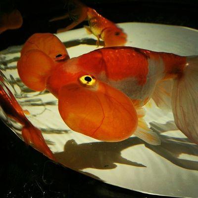アートアクアリウム2014 金魚鑑賞で涼を取る♪ 写真はスイホウガン(水泡眼) アートアクアリウム 金魚 夏 涼を取る 涼 江戸 コレド室町 artaquarium goldfish summer edo coredomuromachi