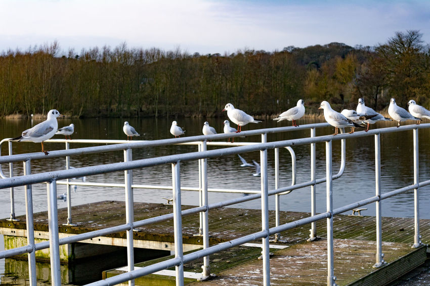 Sea gulls at Whitlingham Country Park, near Norwich. Norwich Whitlingham Country Park Animal Themes Animal Wildlife Animals In The Wild Beauty In Nature Bird Day Lake Large Group Of Animals Nature No People Outdoors Perching Sky Swan Tree Water