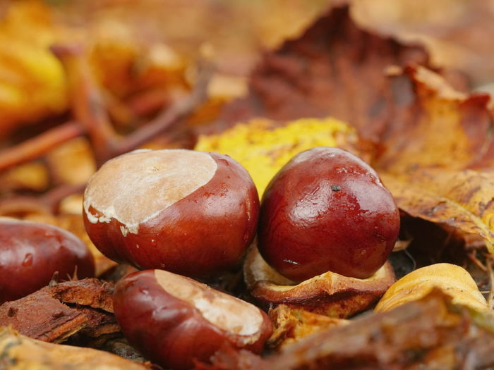 Close-up of horse chestnuts by autumn leaves