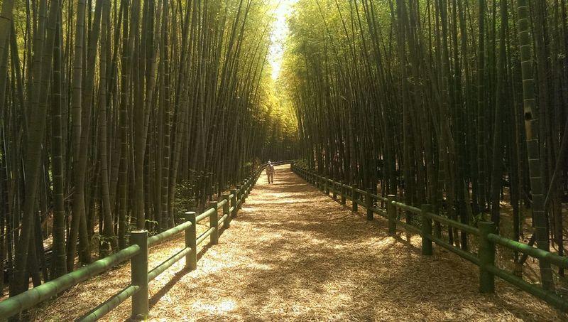 Bamboo Grove Enjoying Life EyeEm Japan Bamboo Forest Bamboo JapanLife Taking Photos Japan