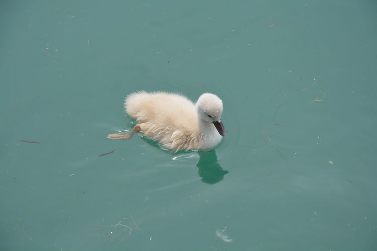 High angle view of swan swimming in lake
