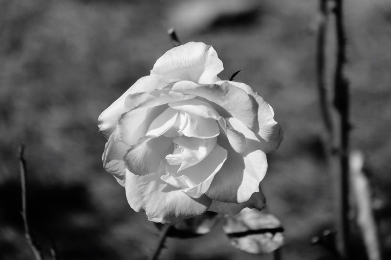 A Rose in Black & White black and white friday Flower Flowering Plant Plant Growth Beauty In Nature Close-up Focus On Foreground Fragility Petal Vulnerability  Inflorescence Flower Head Freshness Nature No People Day Outdoors Rosé Rose - Flower