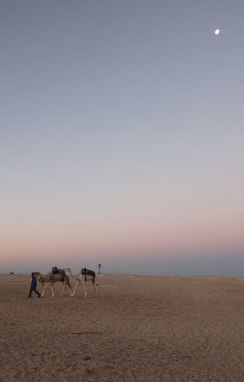 Man walking with camels at sahara desert against sky during sunrise