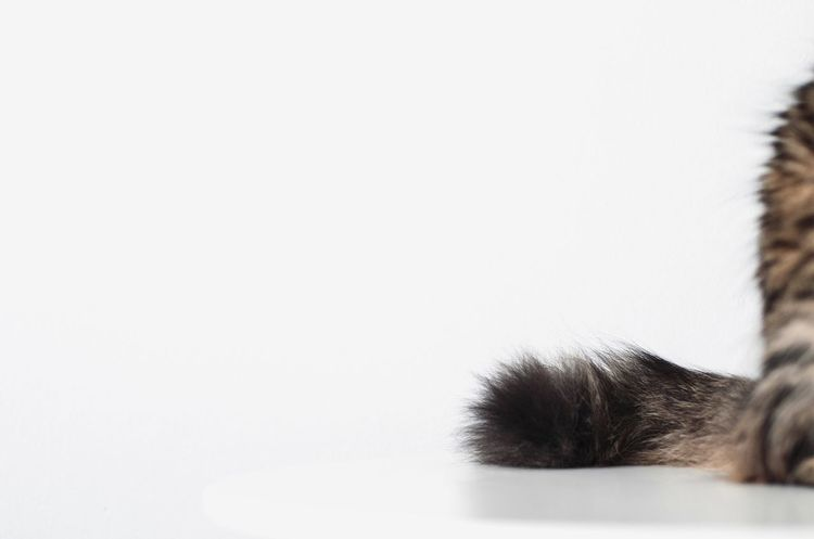 My fluff ball Margot EyeEm Gallery Eye4photography  EyeEm Best Shots Fluffy Fur Tail Cat Copy Space Clear Sky Close-up White Background Studio Shot Day No People