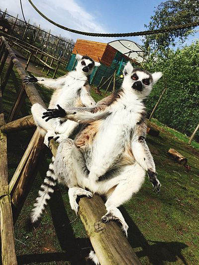 Lemurs giving out hugs to all you guys! Animal Themes Mammal Outdoors Sky Day Nature Tree
